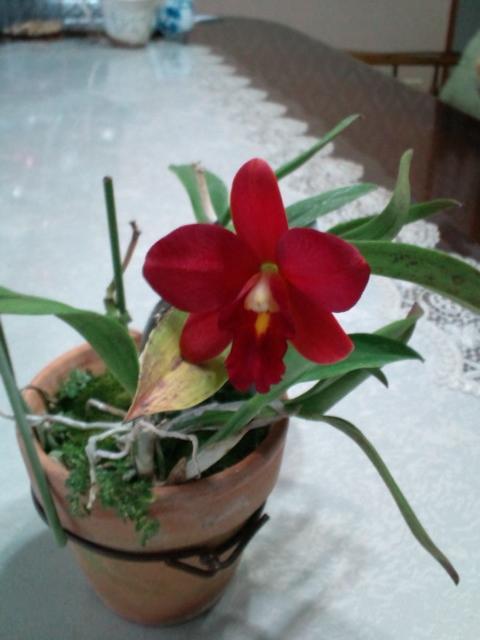 Slc. Dancing Daffodil 'Shitoro' 20121126