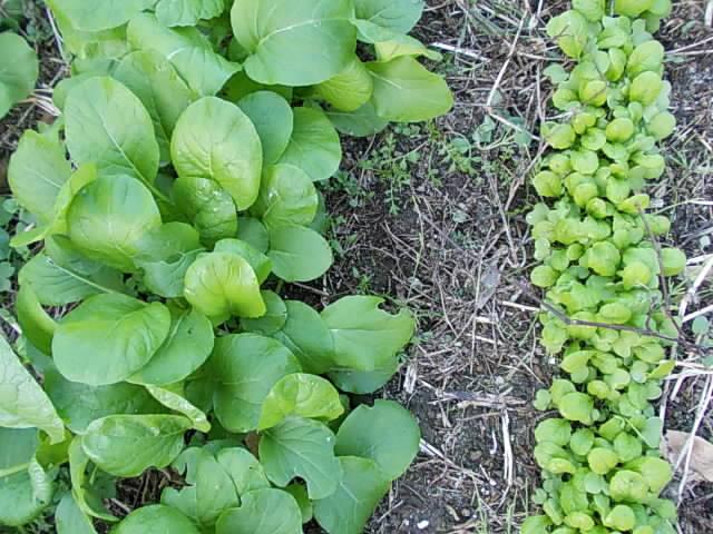 Komatsuna and katsuona spinach 20121120