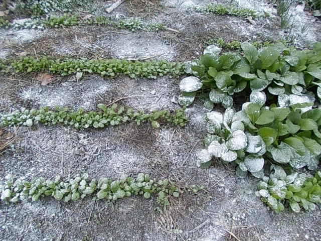 Komatsuna and katsuona spinach 20121128