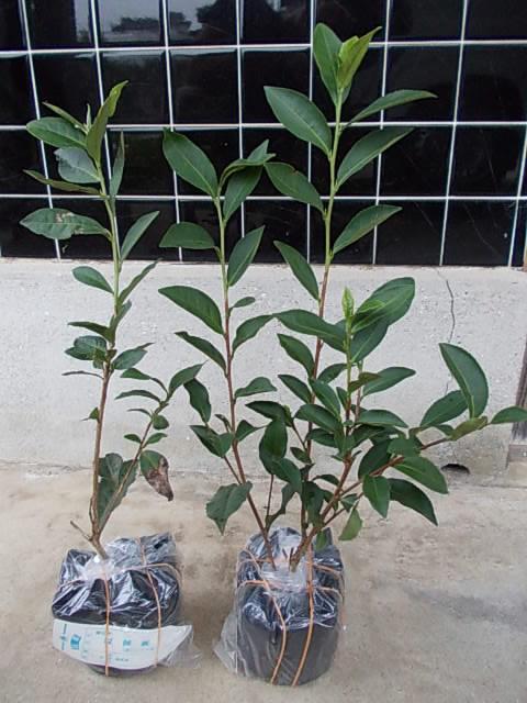 Tea Benifuuki 20121110
