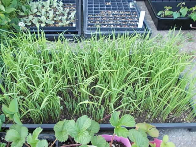 Upland rice 20130616