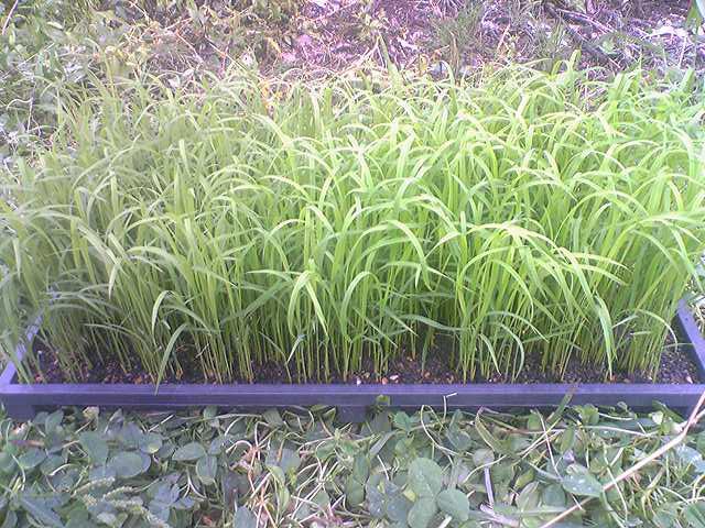 Upland rice 20130624