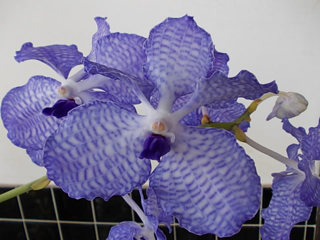 V. coerulea 'Heavenly Blue' 20121030