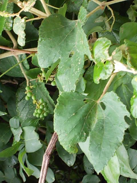 Vitis ficifolia var. lobata 20130620