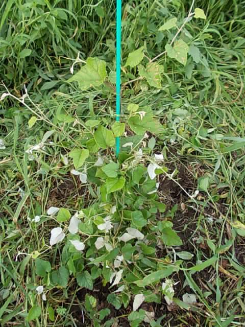 Vitis ficifolia var. lobata 20130630