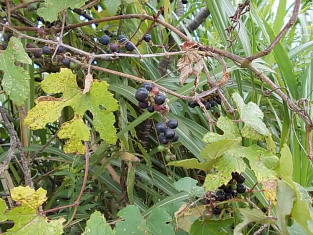 Vitis ficifolia var. sinuata 20121006