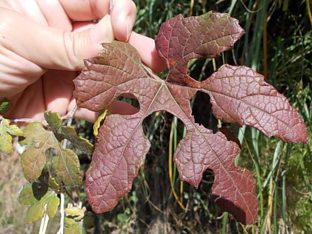 Vitis ficifolia var. sinuata 20121118