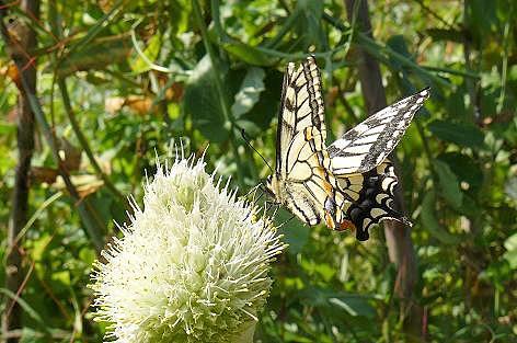 ネギボウズにアゲハ蝶♪