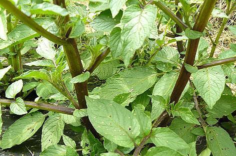 シャドークィーンの茎♪