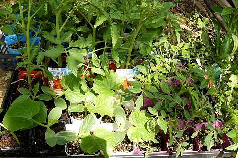 夏野菜の苗♪
