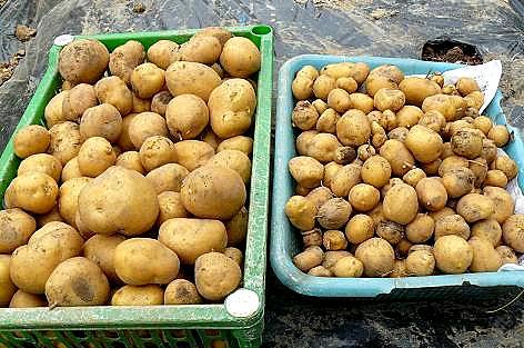 インカのめざめの収穫♪