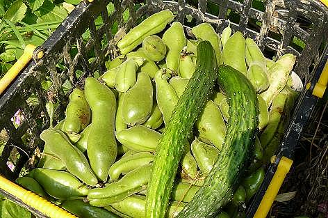 空豆収穫♪