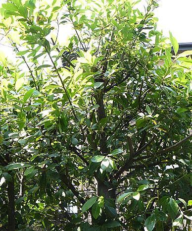 庭の月桂樹♪