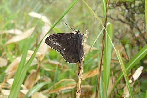 黒い蝶々♪