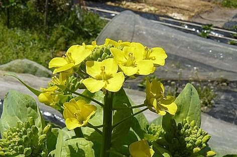 黄色い菜の花♪