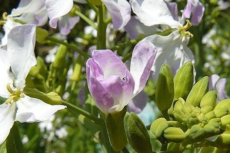 大根の花♪
