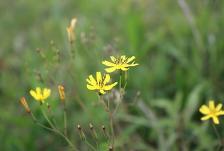 黄色いキク科の花♪