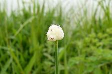 ノビルのお花♪