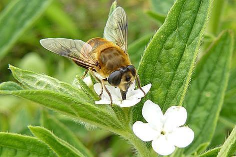 ハチと白い花♪