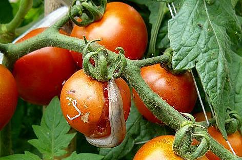 フルーツトマトにナメクジ♪