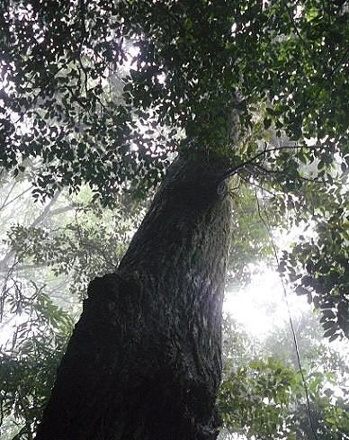 霧の中に大木♪