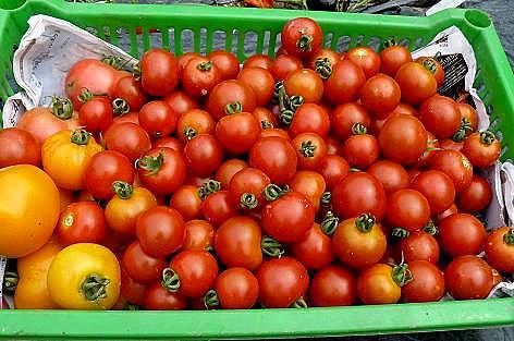 トマト収穫♪