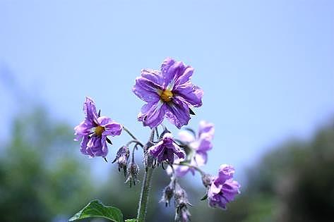 インカのめざめの花♪