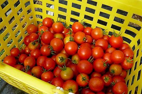 フルーツトマト♪