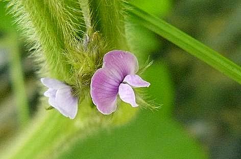 丹波黒豆の花♪