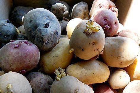 自家製種芋4種♪