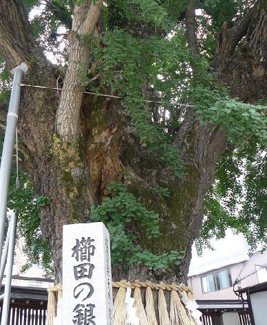 櫛田の銀杏♪