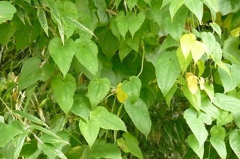自然薯の葉♪