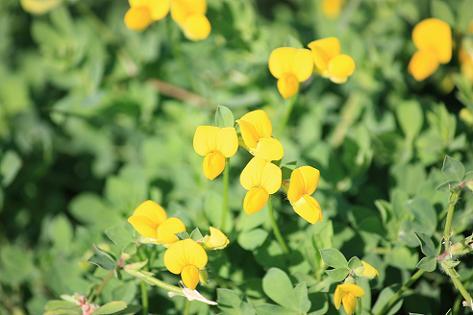 黄色いマメ科の花♪
