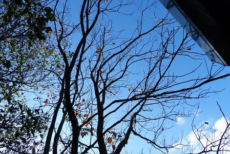 小屋前の柿の木♪