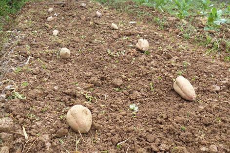 土をかけて芋を置いて♪