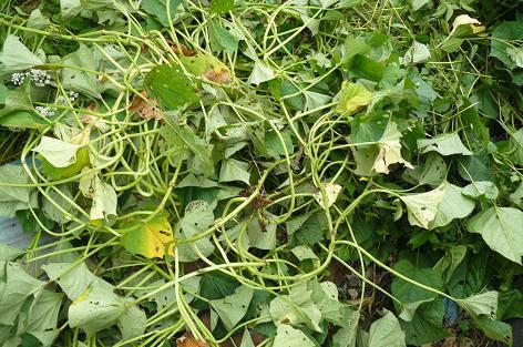 9月終わり、芋蔓収穫や蔓返し♪