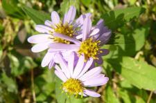 紫色の野菊1♪