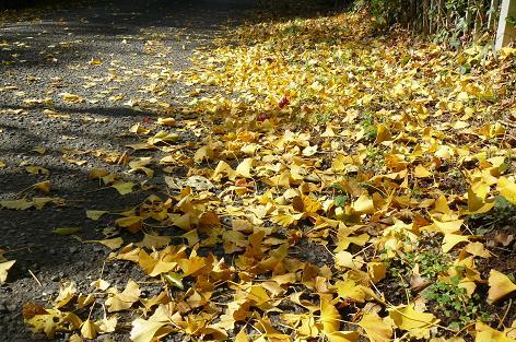 イチョウの落ち葉の道♪
