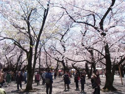 2012年桜 (13)