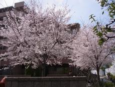 2012年桜 (1)