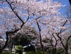 2012年桜 (3)