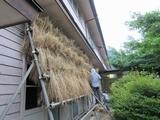 麦の棚干し