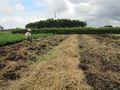 畑を鋤き残った草を集めます