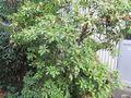 アセビの木