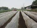大根畑に覆いを被せました