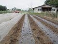 大根畑に「アセビのコオロギ避け」を置きました
