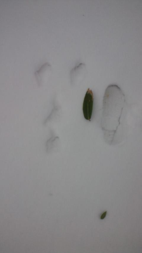 ウサギ足跡