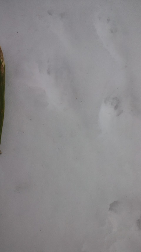 ムササビ足跡