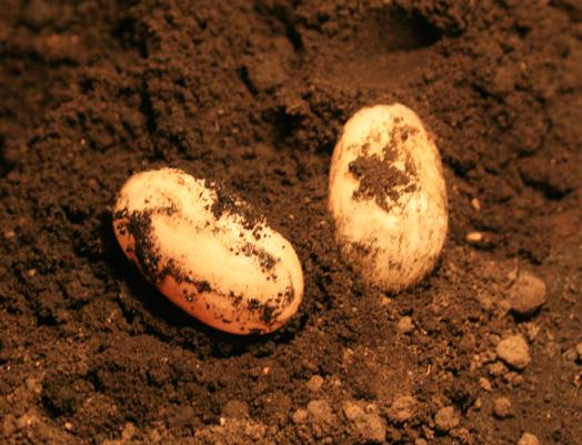ハナナガ卵