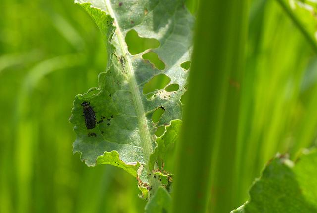 ⑤テントウムシの幼虫?